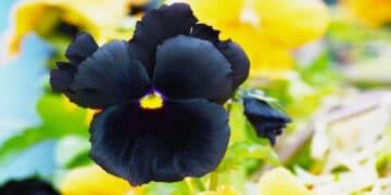 6 flores negras que são lindas e misteriosas 19