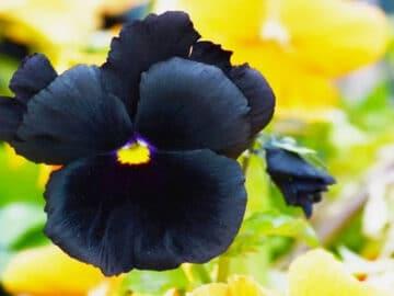 6 flores negras que são lindas e misteriosas 24