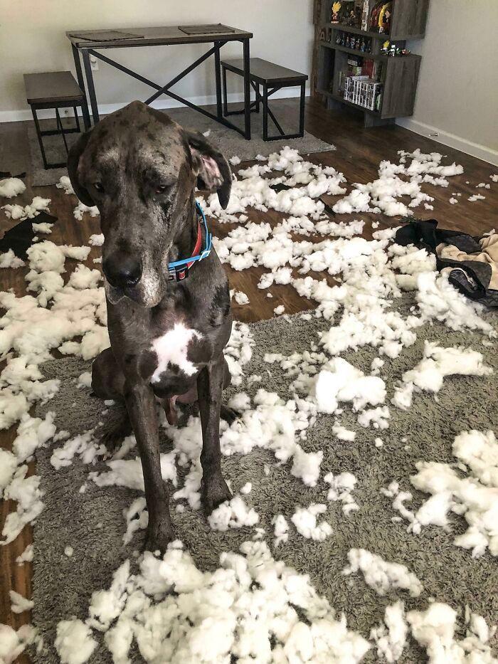 38 vezes que animais de estimação foram pegos destruindo algo 3