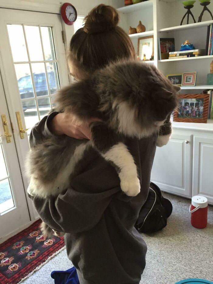 47 fotos de gatos grandes, mostrando como são gigantes 2