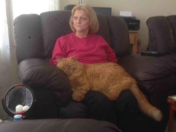 47 fotos de gatos grandes, mostrando como são gigantes 5