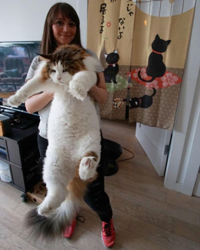 47 fotos de gatos grandes, mostrando como são gigantes 7