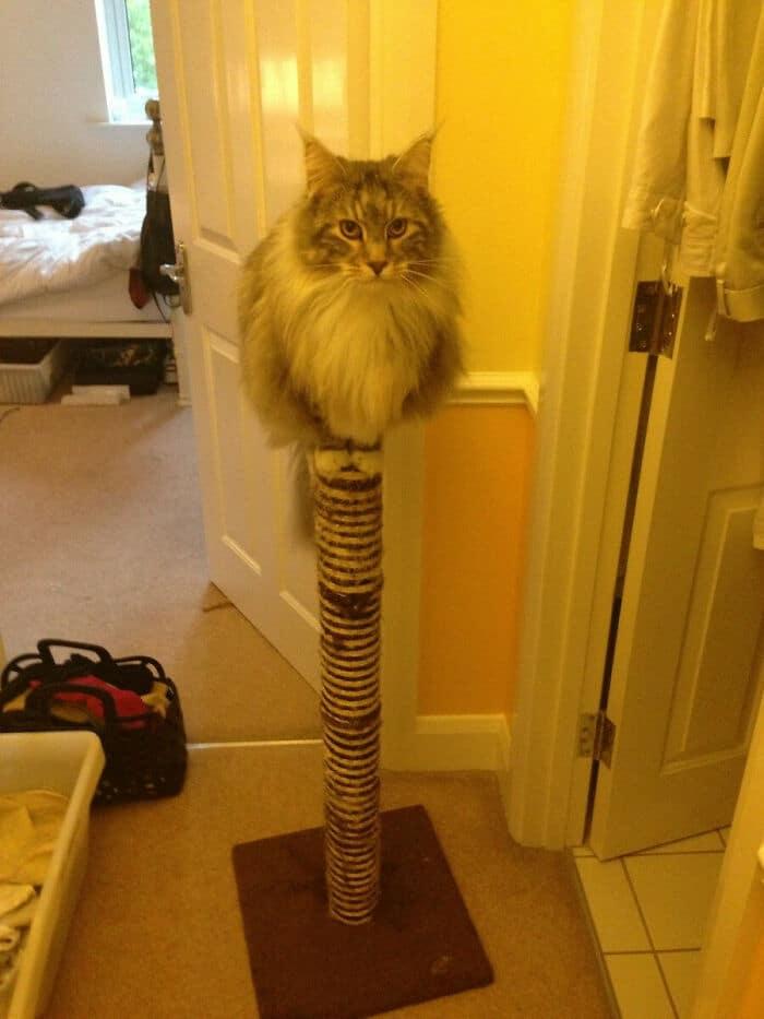 47 fotos de gatos grandes, mostrando como são gigantes 8