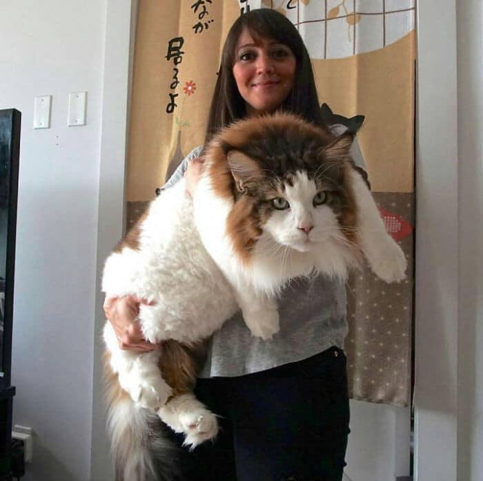 47 fotos de gatos grandes, mostrando como são gigantes 11