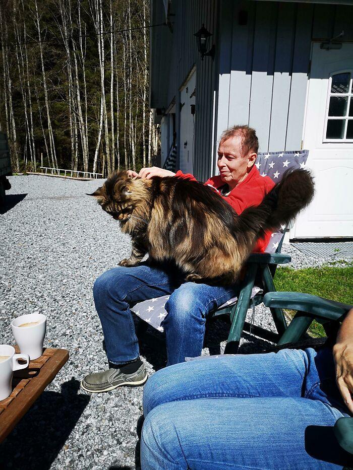 47 fotos de gatos grandes, mostrando como são gigantes 15