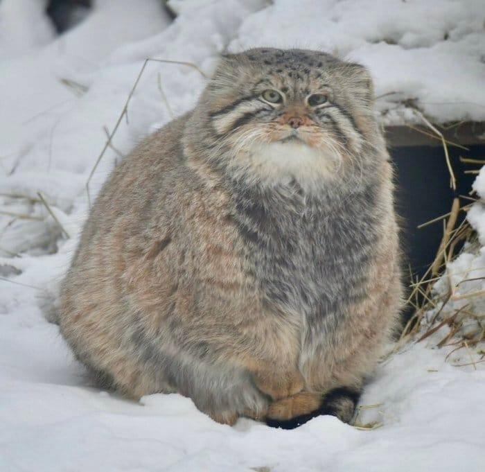 47 fotos de gatos grandes, mostrando como são gigantes 17