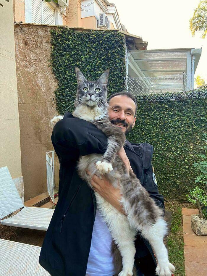 47 fotos de gatos grandes, mostrando como são gigantes 19