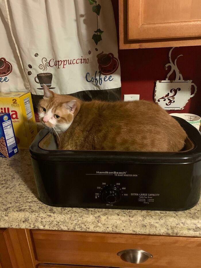 47 fotos de gatos grandes, mostrando como são gigantes 20
