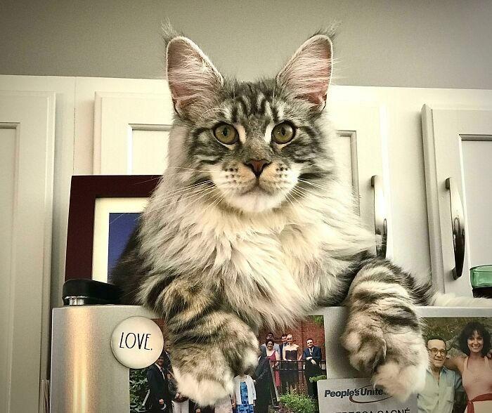 47 fotos de gatos grandes, mostrando como são gigantes 23