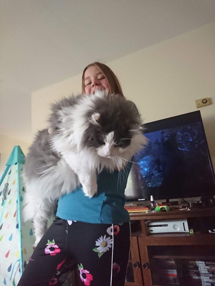 47 fotos de gatos grandes, mostrando como são gigantes 29