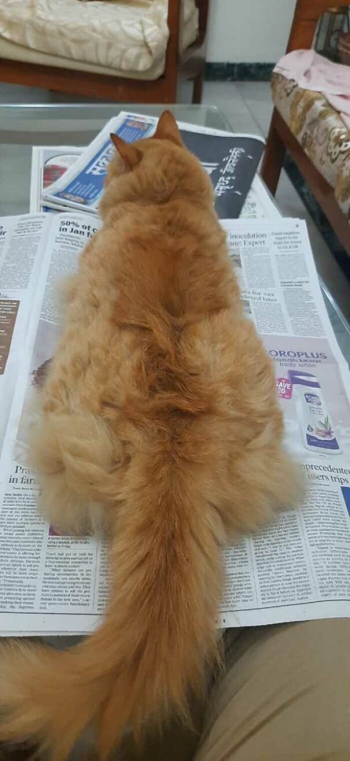 47 fotos de gatos grandes, mostrando como são gigantes 30