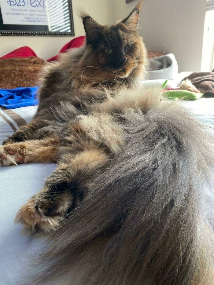 47 fotos de gatos grandes, mostrando como são gigantes 36