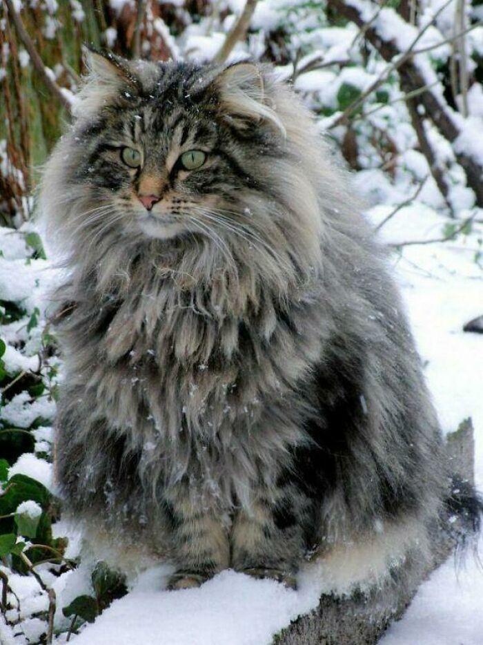 47 fotos de gatos grandes, mostrando como são gigantes 42