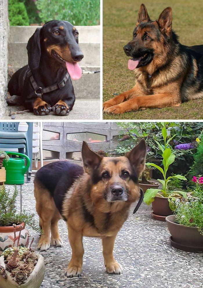 17 cachorros híbridos que dão um show de beleza e fofura 10
