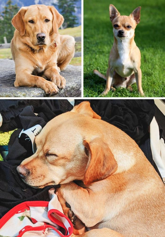 17 cachorros híbridos que dão um show de beleza e fofura 16