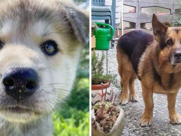 17 cachorros híbridos que dão um show de beleza e fofura 30