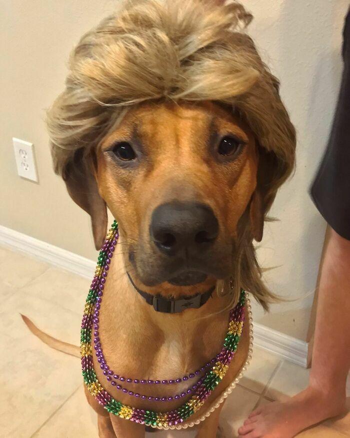 38 pessoas estão compartilhando fotos de seus cães usando perucas 3