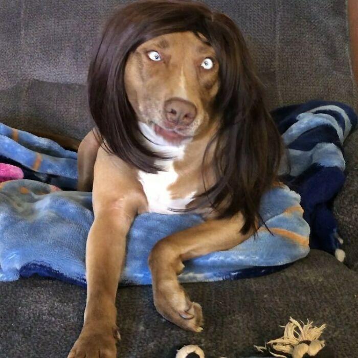 38 pessoas estão compartilhando fotos de seus cães usando perucas 4