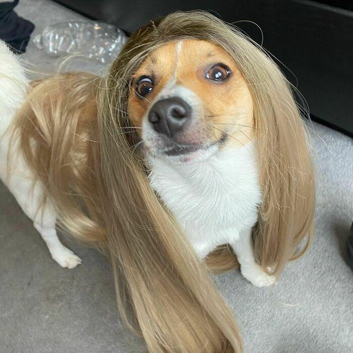 38 pessoas estão compartilhando fotos de seus cães usando perucas 5