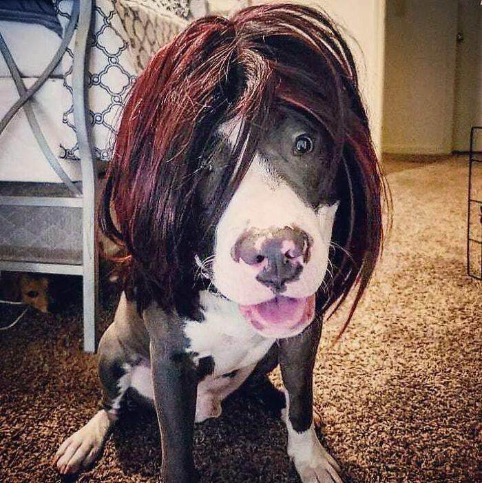 38 pessoas estão compartilhando fotos de seus cães usando perucas 7
