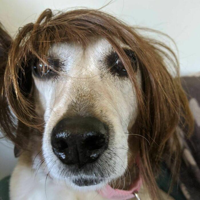 38 pessoas estão compartilhando fotos de seus cães usando perucas 8