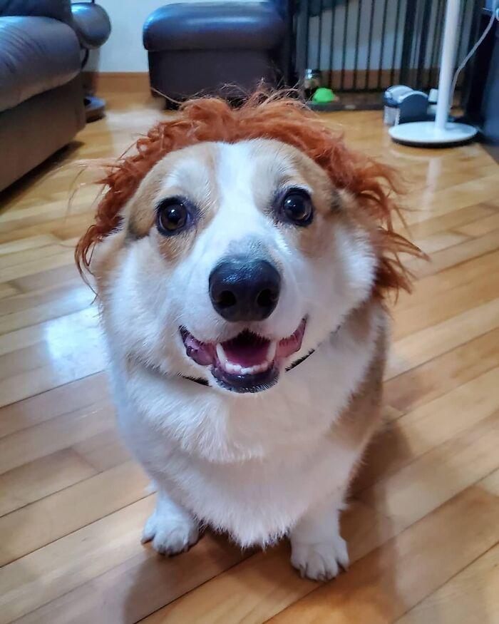 38 pessoas estão compartilhando fotos de seus cães usando perucas 9