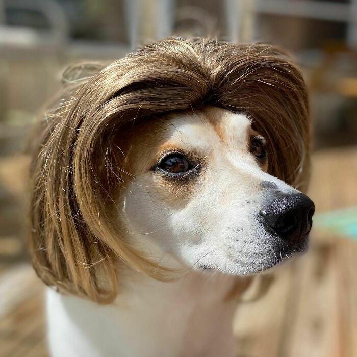 38 pessoas estão compartilhando fotos de seus cães usando perucas 11