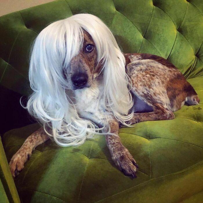 38 pessoas estão compartilhando fotos de seus cães usando perucas 12