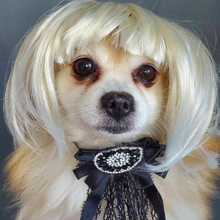 38 pessoas estão compartilhando fotos de seus cães usando perucas 13