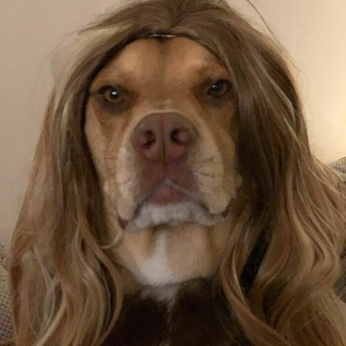 38 pessoas estão compartilhando fotos de seus cães usando perucas 14