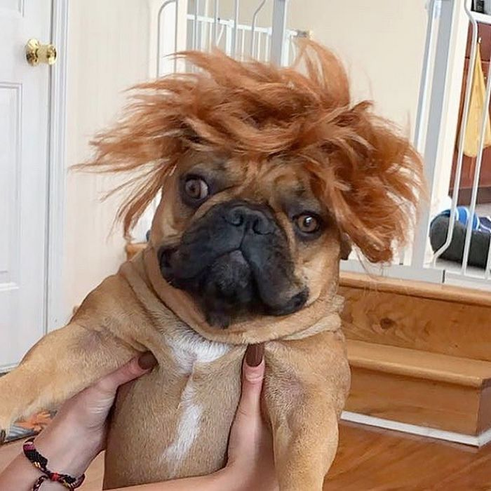 38 pessoas estão compartilhando fotos de seus cães usando perucas 16