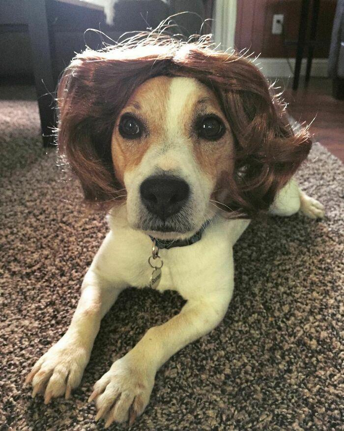 38 pessoas estão compartilhando fotos de seus cães usando perucas 18
