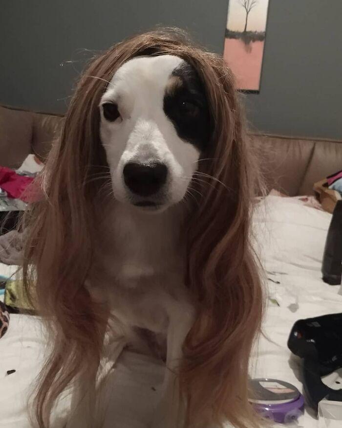 38 pessoas estão compartilhando fotos de seus cães usando perucas 20