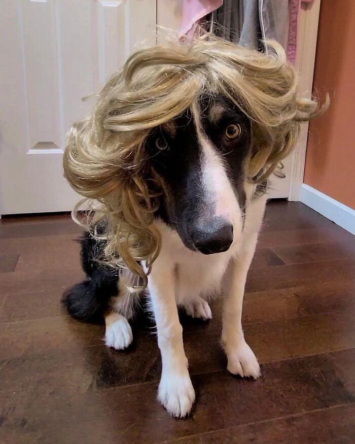38 pessoas estão compartilhando fotos de seus cães usando perucas 21