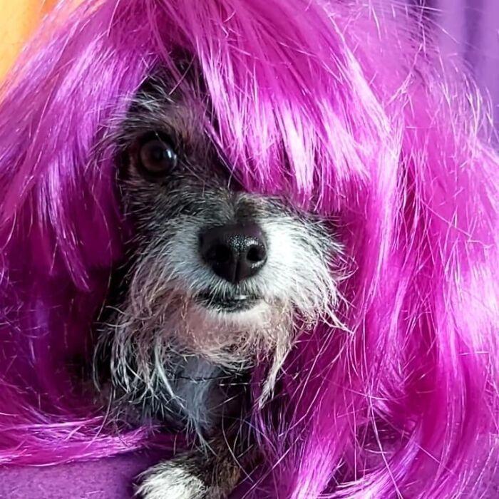38 pessoas estão compartilhando fotos de seus cães usando perucas 22