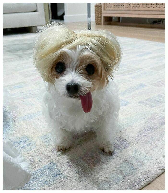 38 pessoas estão compartilhando fotos de seus cães usando perucas 24