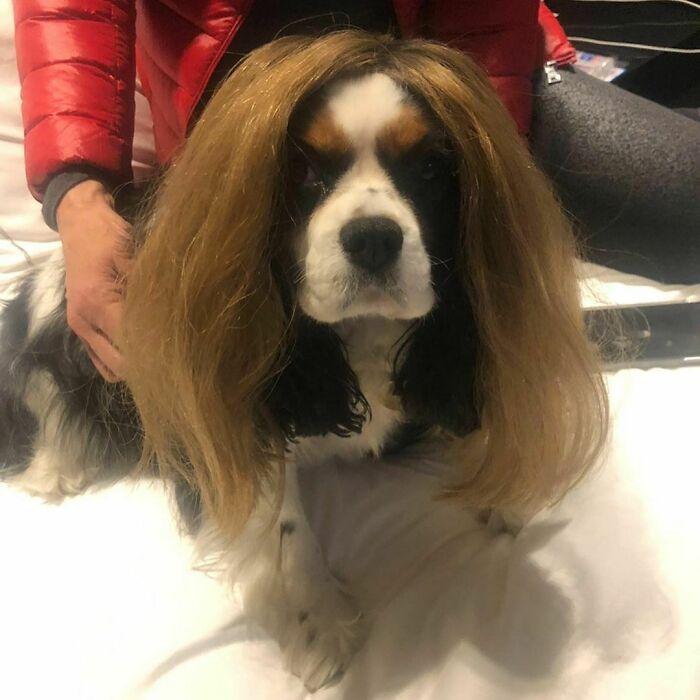 38 pessoas estão compartilhando fotos de seus cães usando perucas 25
