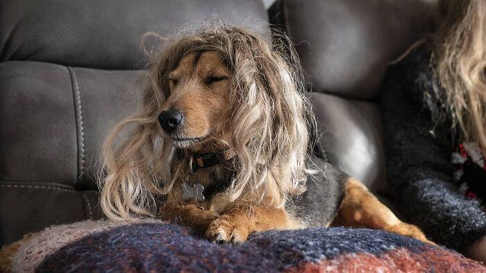 38 pessoas estão compartilhando fotos de seus cães usando perucas 27