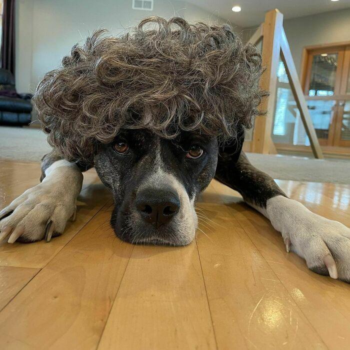 38 pessoas estão compartilhando fotos de seus cães usando perucas 29