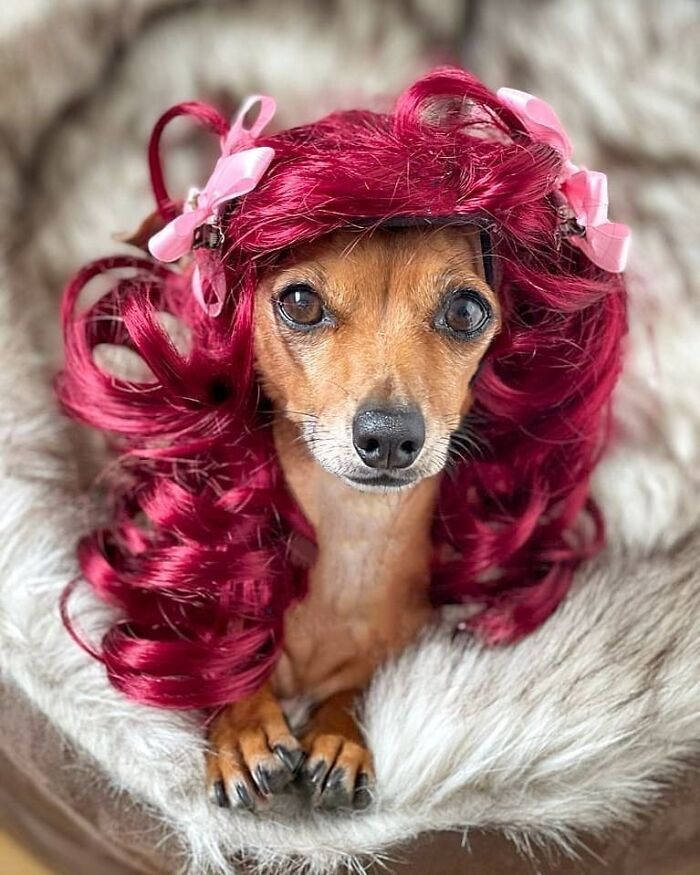 38 pessoas estão compartilhando fotos de seus cães usando perucas 32
