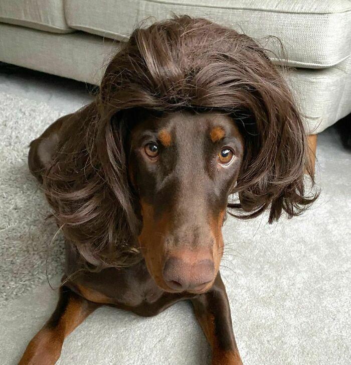 38 pessoas estão compartilhando fotos de seus cães usando perucas 33