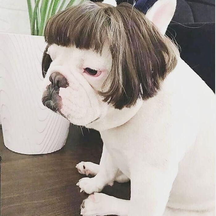 38 pessoas estão compartilhando fotos de seus cães usando perucas 34