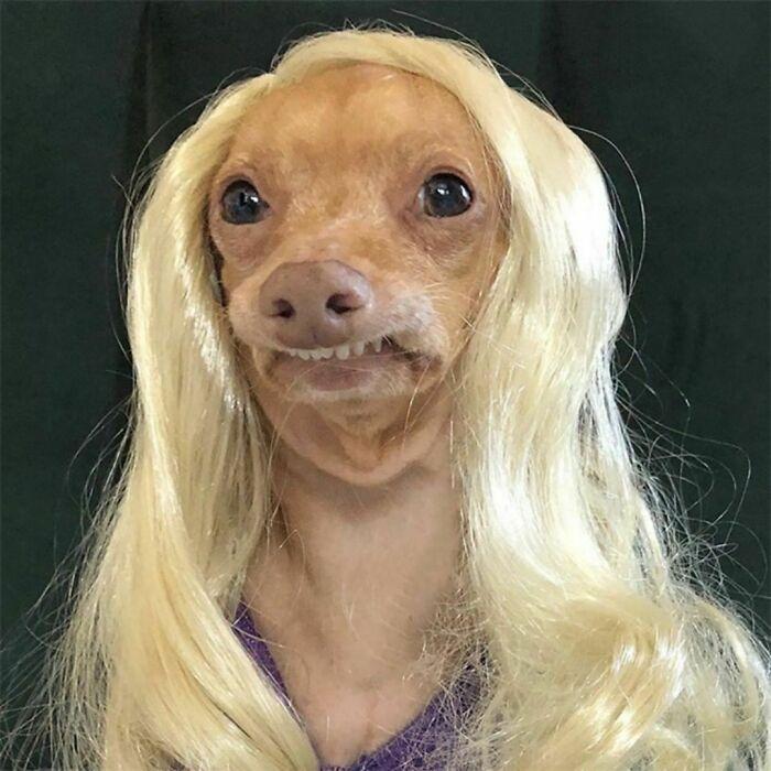 38 pessoas estão compartilhando fotos de seus cães usando perucas 36