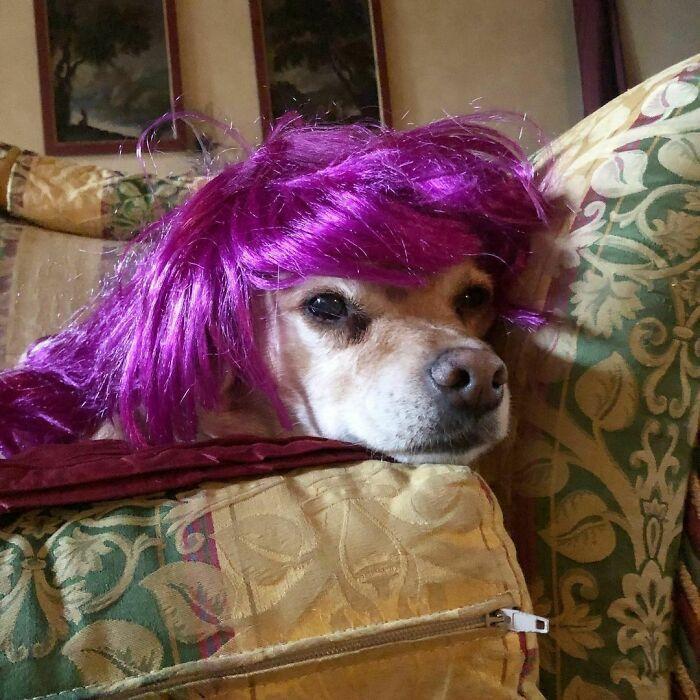 38 pessoas estão compartilhando fotos de seus cães usando perucas 38