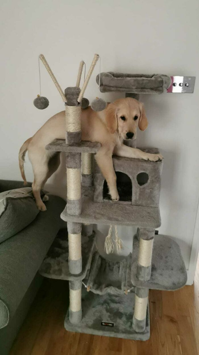 38 cachorros com defeito de fábrica que acham que são gatos 9