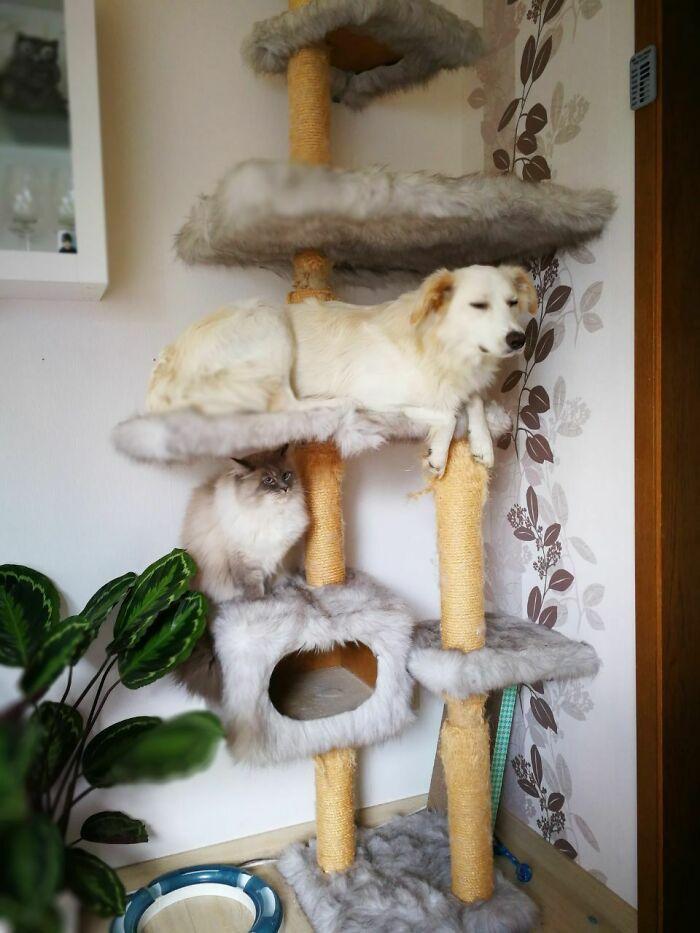 38 cachorros com defeito de fábrica que acham que são gatos 13