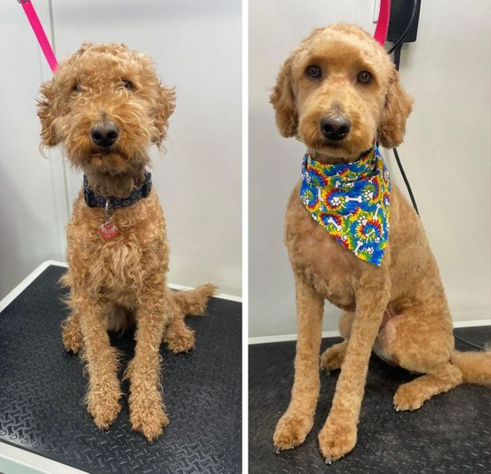15 cães cujos donos não conseguiam reconhecê-los depois de pegá-los no pet shop 3