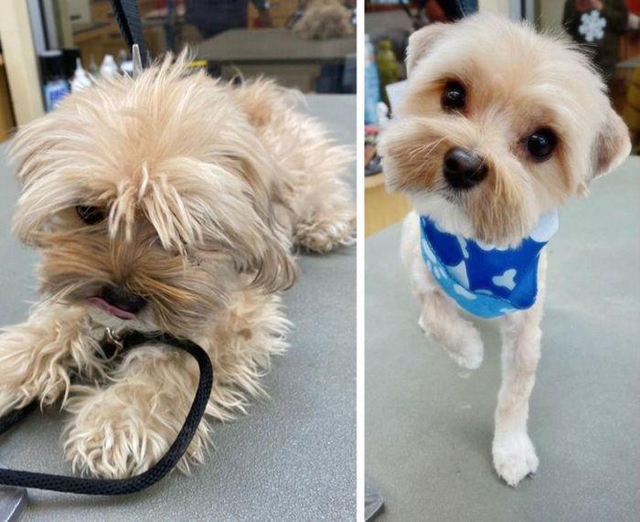 15 cães cujos donos não conseguiam reconhecê-los depois de pegá-los no pet shop 4