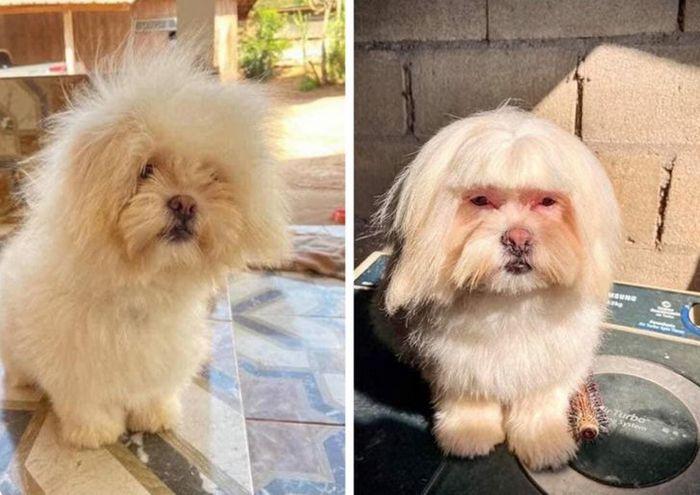 15 cães cujos donos não conseguiam reconhecê-los depois de pegá-los no pet shop 7
