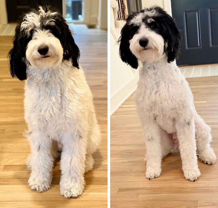 15 cães cujos donos não conseguiam reconhecê-los depois de pegá-los no pet shop 9